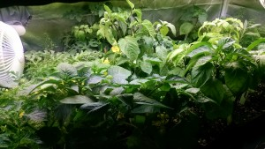 Serious overgrowth can occur in the nursery when you don't plan for enhanced lighting!