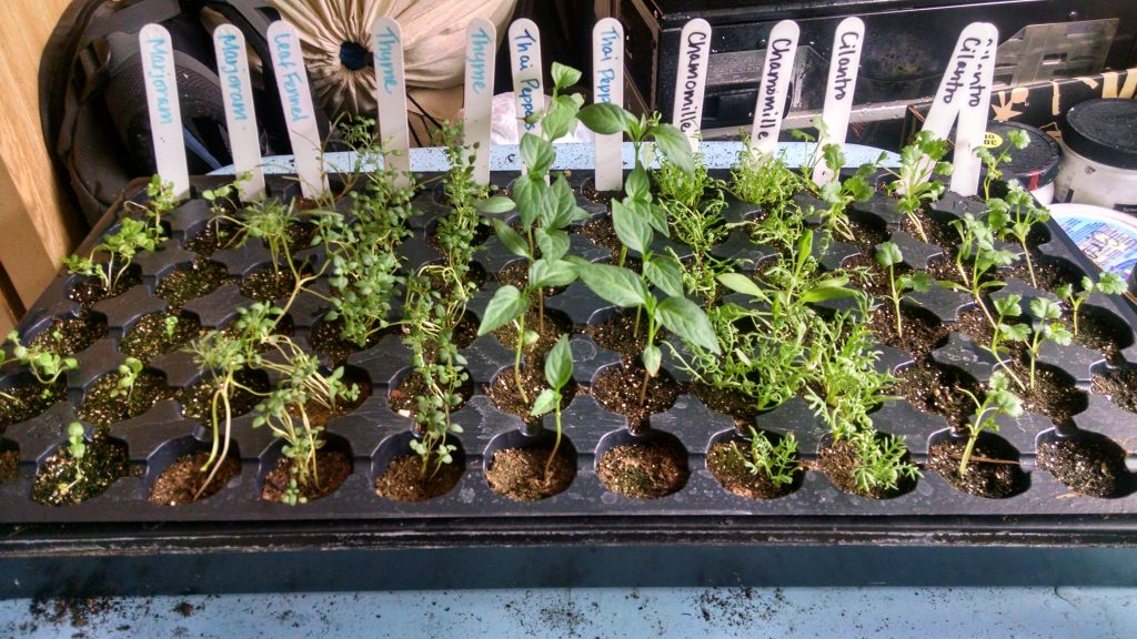 Marjoram, leaf fennel, thyme, Thai peppers, chamomile and a ton of cilantro.  Another good looking tray here, we have since thinned out the chamomile and will let the thyme bunch 'til it's heart is content.