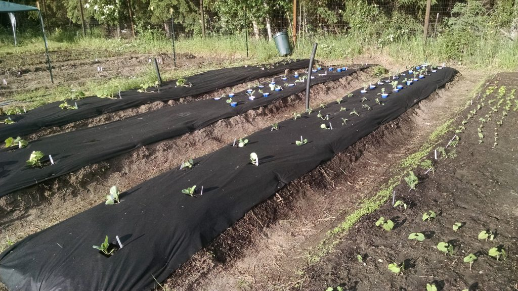 It took us around ten hours or so to develop our wide raised row garden beds. We were fortunate to have a small tiller, which made the work much easier. Our rows follow east-west lines for best sun exposure.
