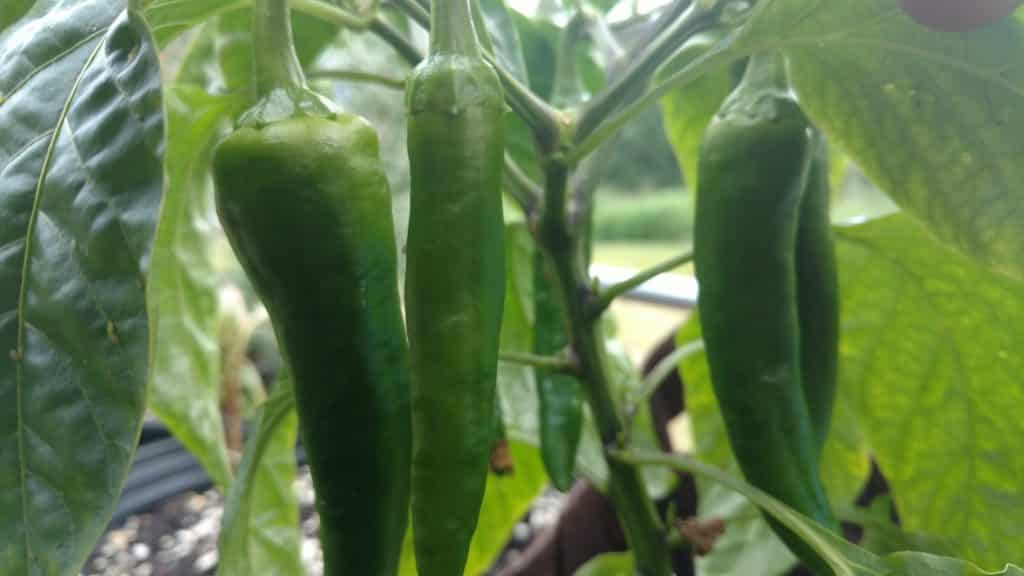 Poblano peppers growing in Fairbanks, AK