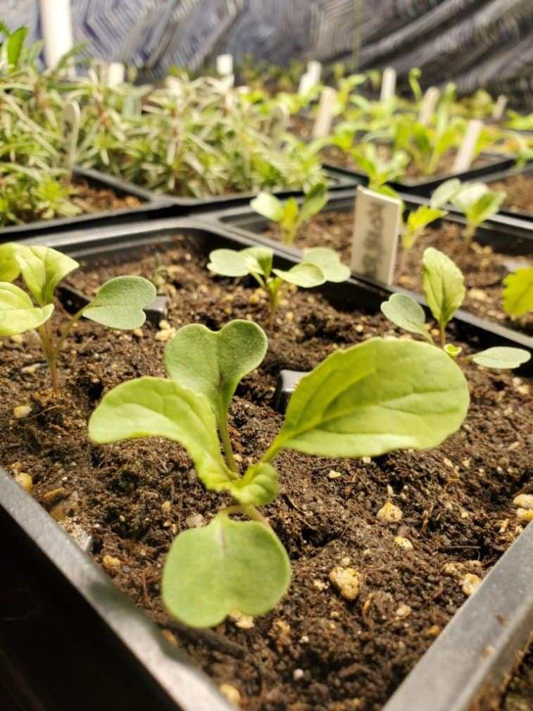 A seed tray full of growing seedling, mostly planted in March.