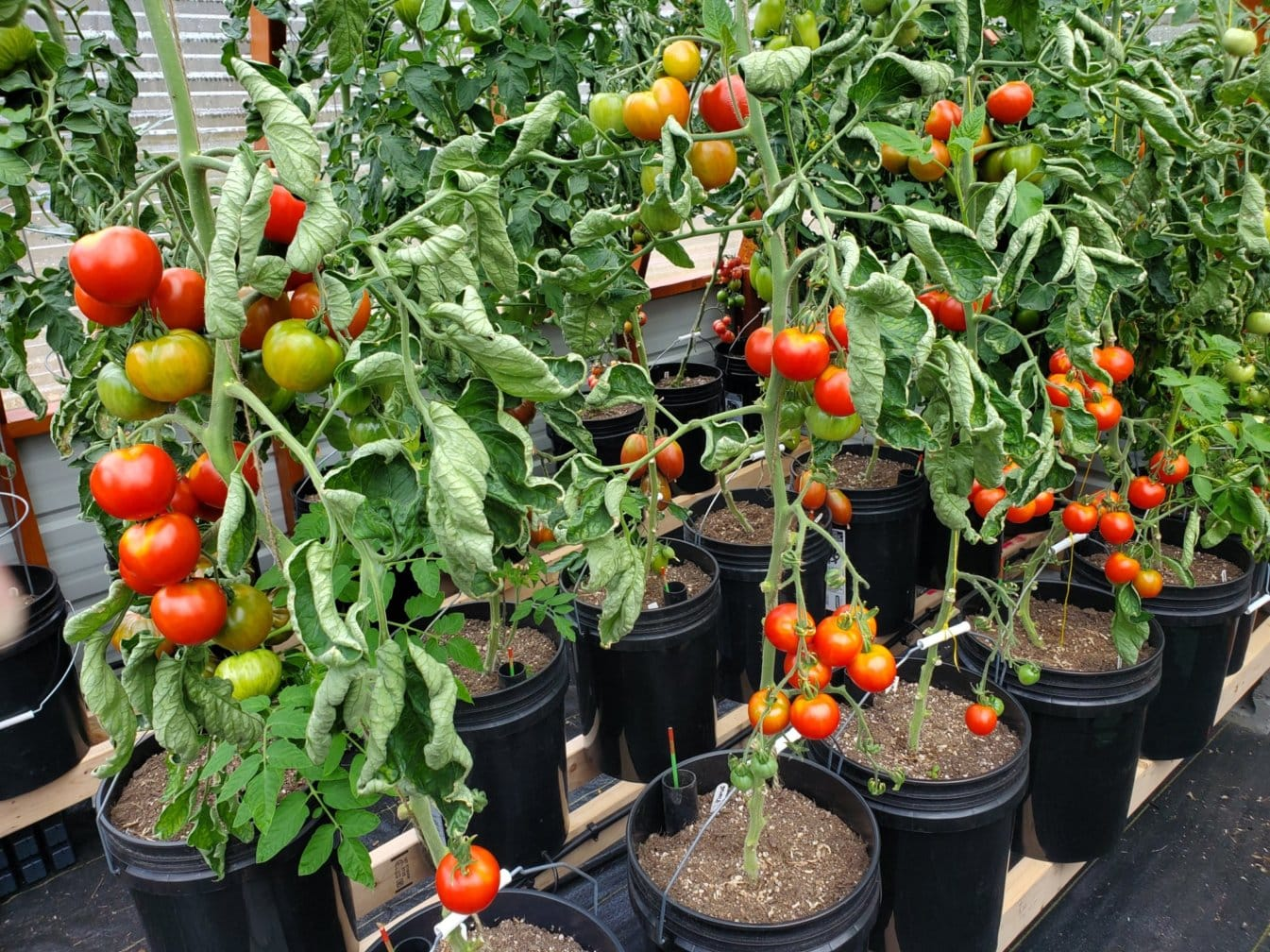 Partial Tomato Production